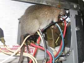 Les dégâts faits par les rats
